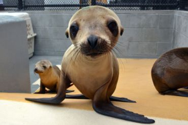 A California sea lion pup recuperates at the Marine Mammal Center located in Sausalito.