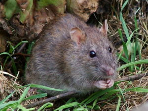 According to EPA.Gov, the Norway Rat is the most commonly found rodent in the United States.