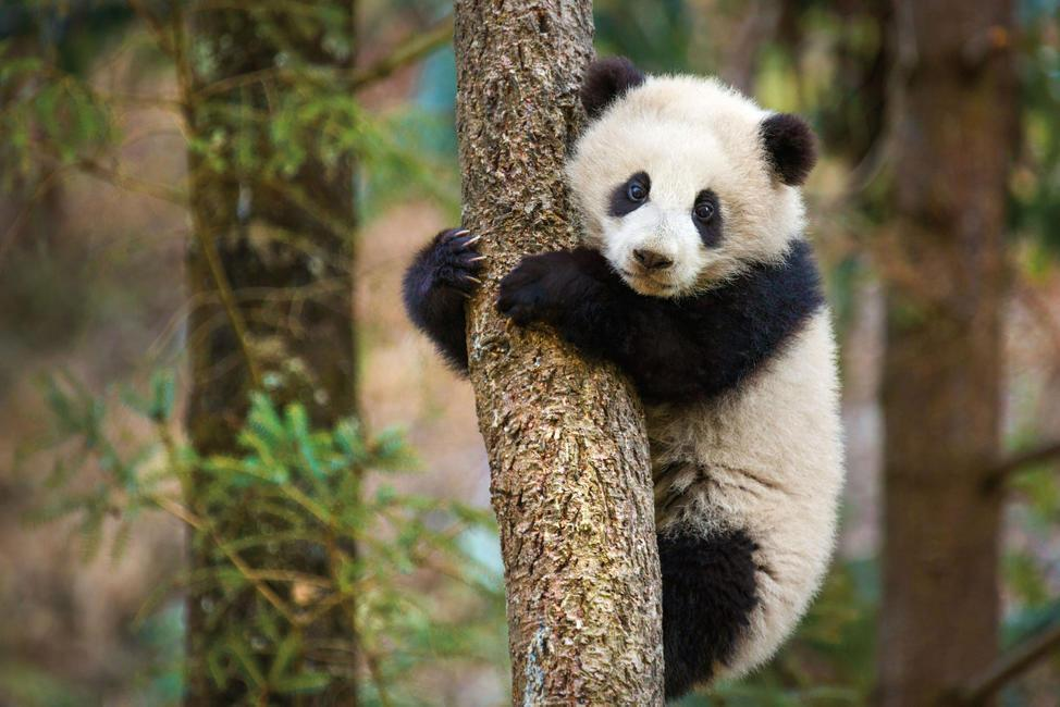 Staring triumphantly out at her bamboo forest home, Mei Mei climbs a tree for the first time.