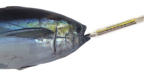Tuna's mercury level higher than previously thought