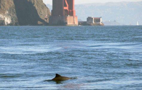 Courtesy of Golden Gate Cetacean Research