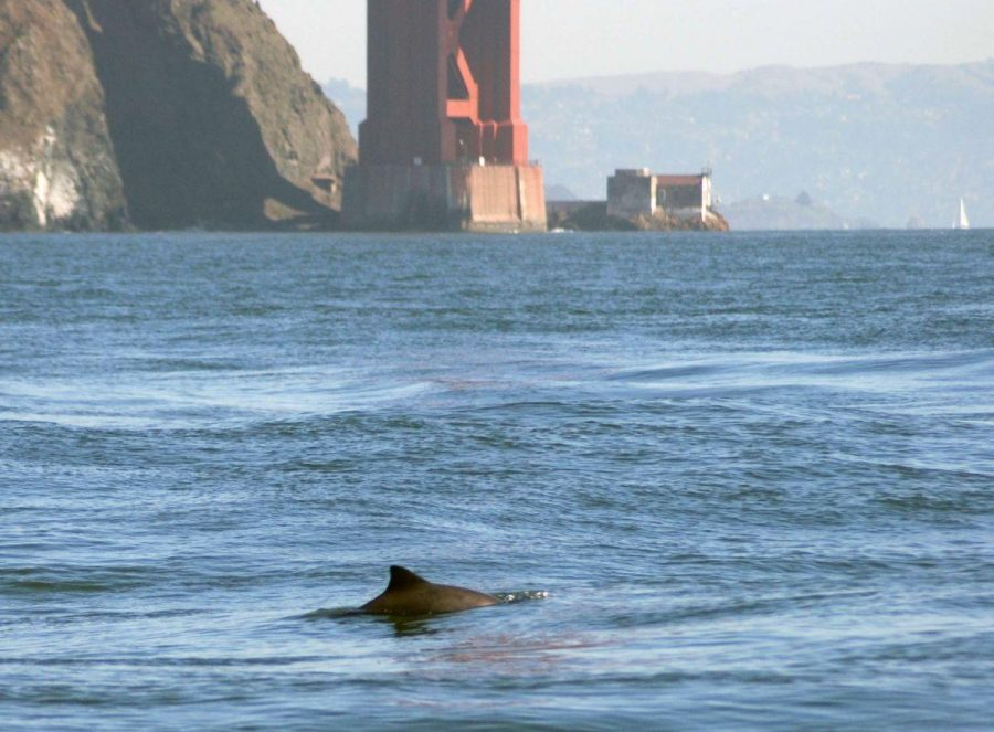 Courtesy of Golden Gate Cetacean Research