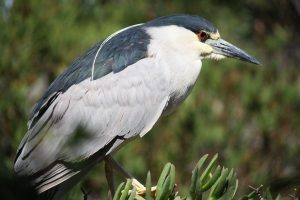 A Black-crowned Night-Heron stands on a fence bordering the pond.