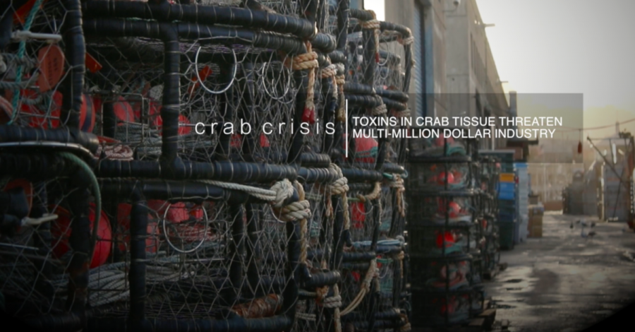 Crab Crisis: Toxins in tissue threaten million dollar crabbing industry