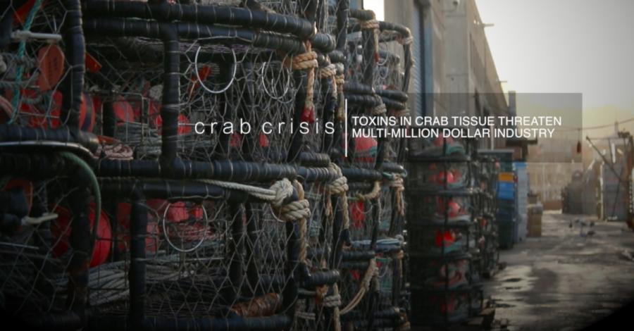 Crab Crisis: Toxins in tissue threaten million dollar crabbing industry
