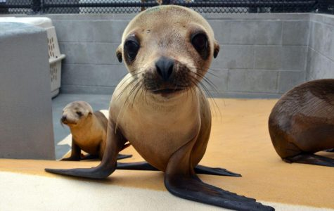 Struggling for Survival: Bay Area sea lions face changing conditions