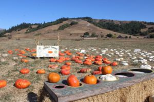 Offering an October staple, the Nicasio Pumpkin Patch provides customers with beautiful pumpkins and a real-life farm experience.