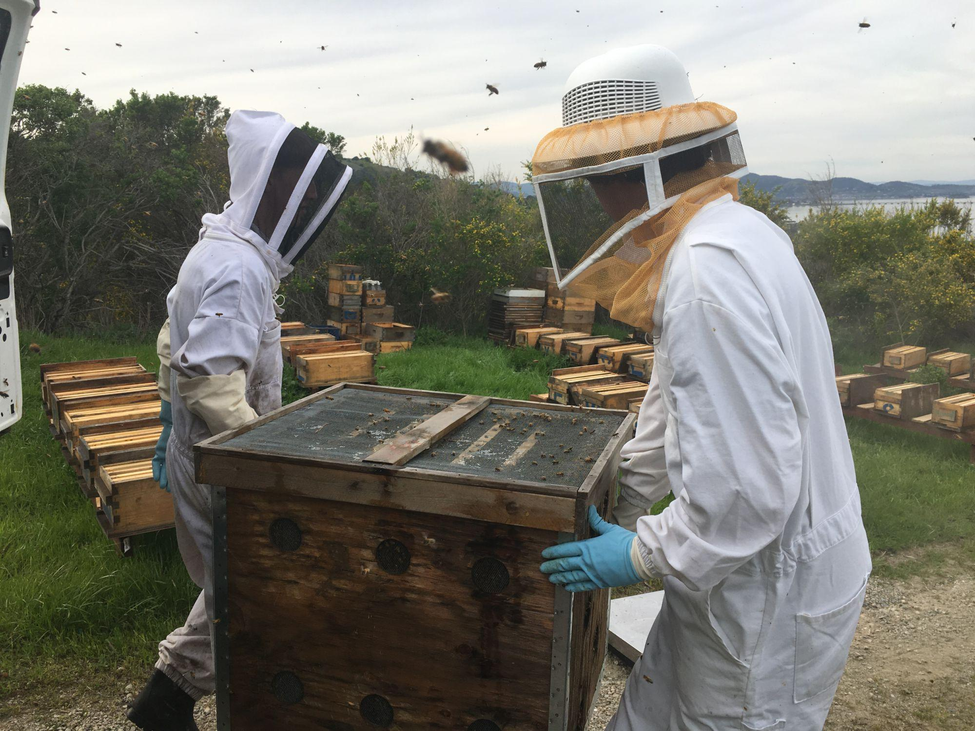 Bee community endangered, revitalized by avid beekeeping