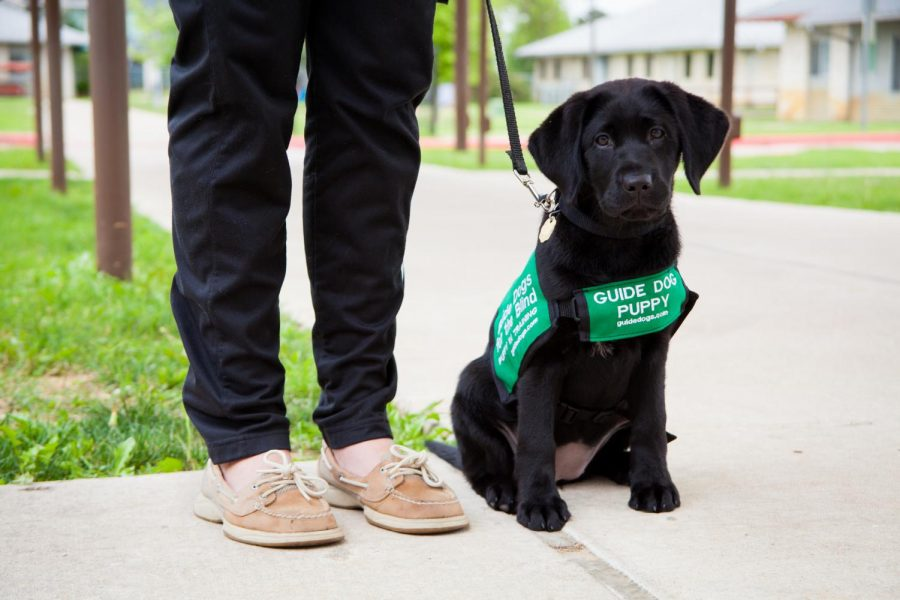 A ruff day's work: Guide Dogs for the Blind