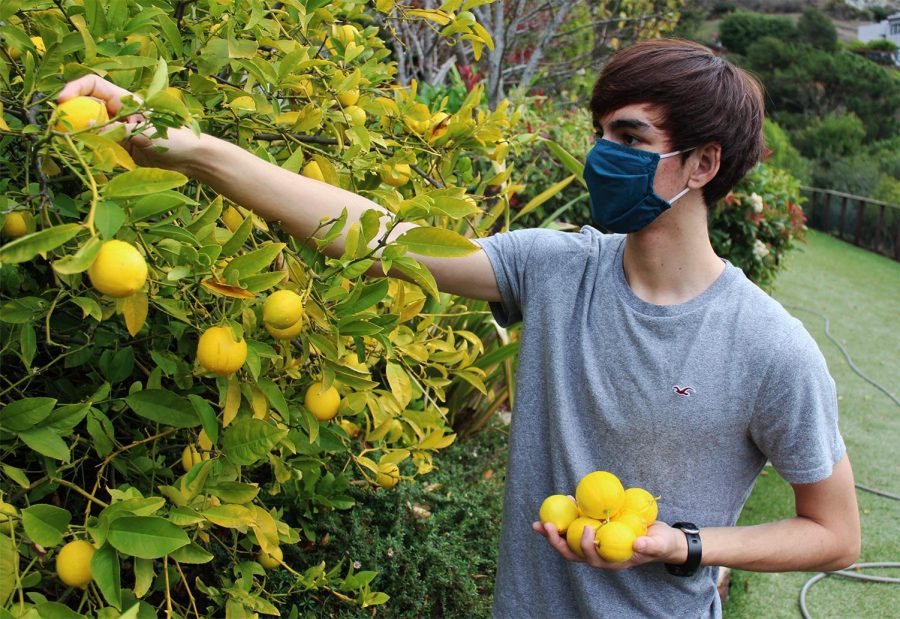 Junior Scott Van Hooser, Share the Bounty co-founder, goes around Marin harvesting fruit for the needy.